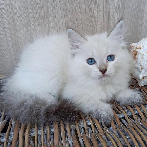 291 Taiwania   Siberian (Neva Masquerade) female kitten