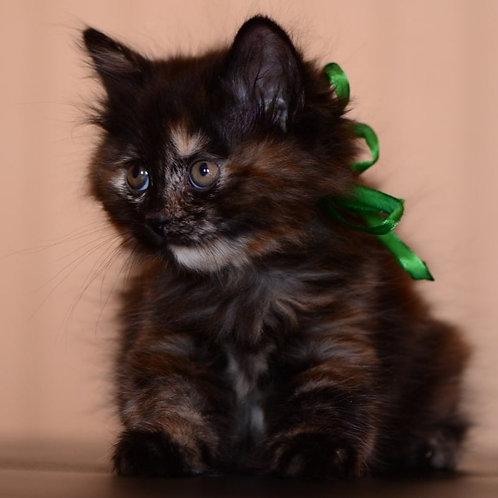 226 Gerda  Kurilian Bobtail female kitten