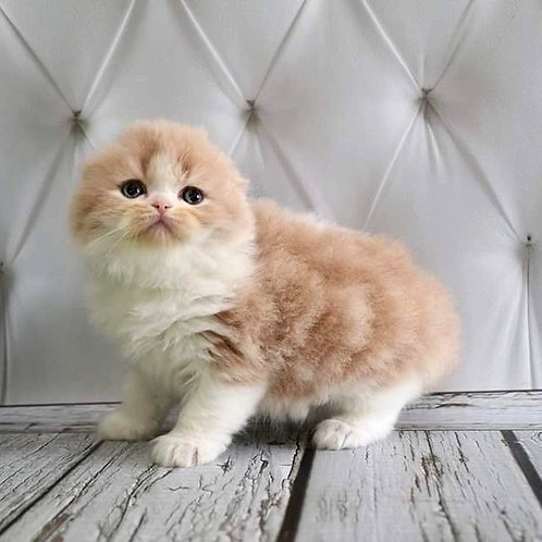 New York Scottish fold longhair male kitten