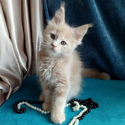 Camelia Maine Coon female kitten