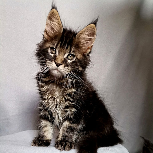 772 Napoleon  Maine Coon male kitten