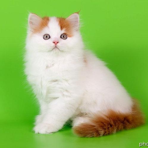 1021 Yogurt  Scottish straight longhair male kitten