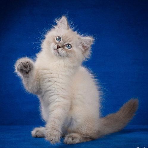 Markiz Siberian male kitten