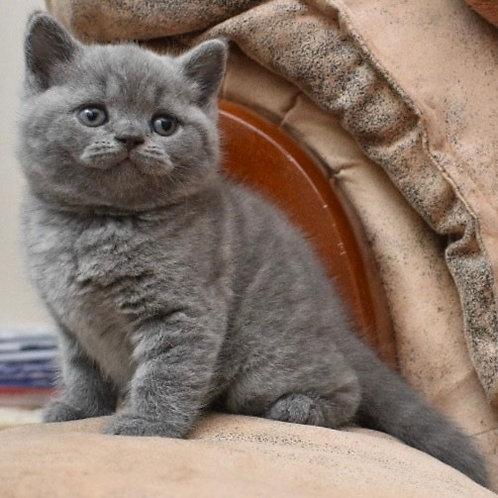 360 Velvet British shorthair male kitten