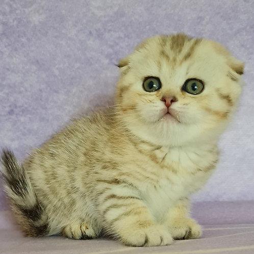514 Adel   Scottish fold shorthair female kitten