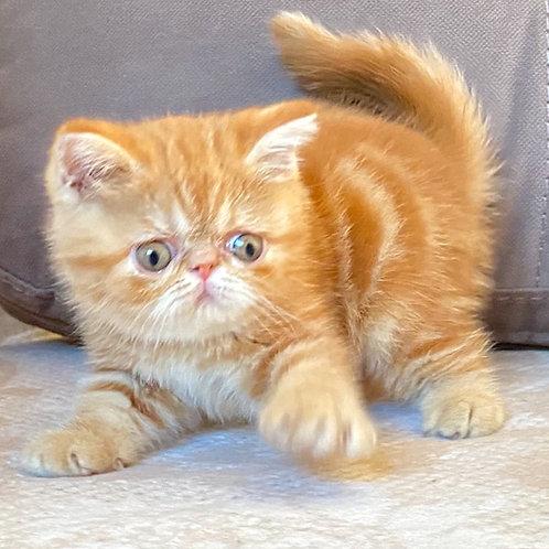 197 Tom   Exotic  male kitten