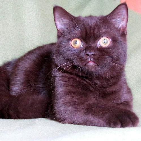 1011 Yukimura   Scottish straight shorthair male kitten