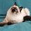 Thumbnail: 286 Nikos   Siberian male kitten