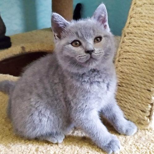 380 Vicont    British shorthair  male kitten