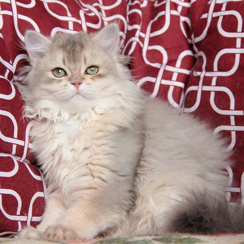 200 Archibald  British longhair male kitten