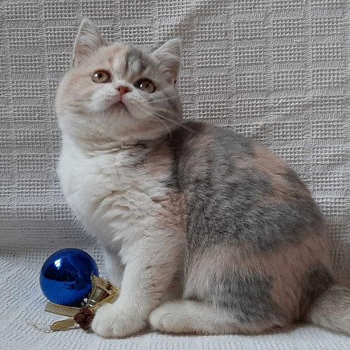 44 Gerda   Scottish straight shorthair female kitten