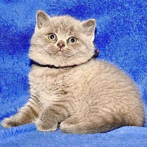 23 Willi British shorthair male kitten