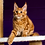Thumbnail: 658 Gregory  Maine Coon male kitten