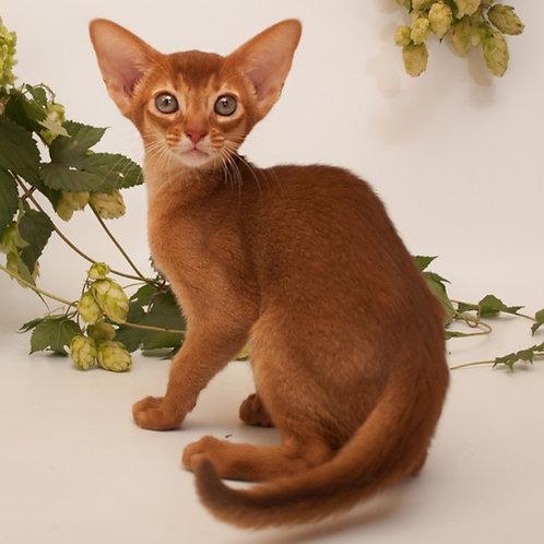 185 Destiny purebred Abyssinian female kitten