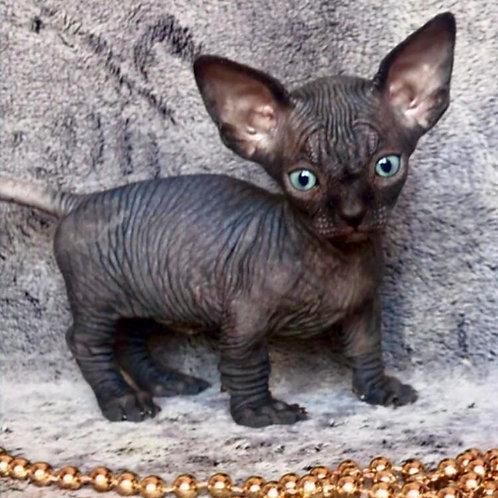 254 Ceron   male Bambino  kitten