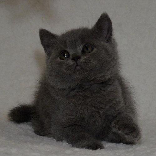 338 Hayley  British shorthair male kitten
