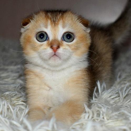 910 Linda   Scottish fold shorthair female kitten