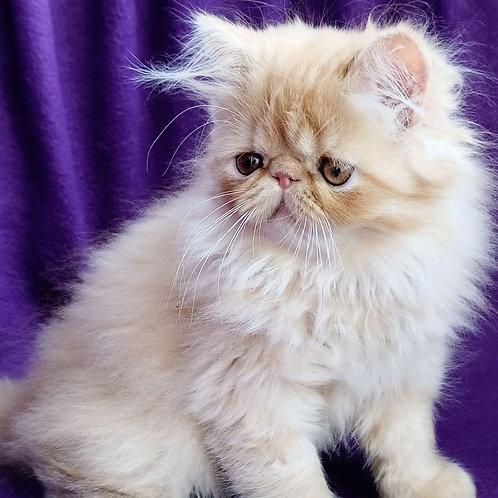 147 Barney   Persian  male kitten
