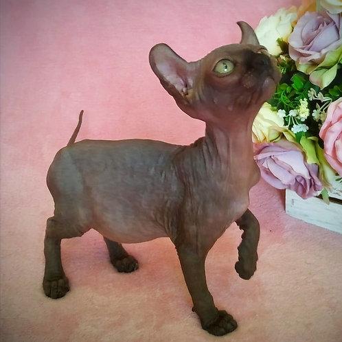 546 Leyla  female Elf   kitten