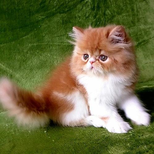 100 Williams Persian male kitten