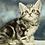 Thumbnail: 1139 Onyx  Scottish straight shorthair male kitten