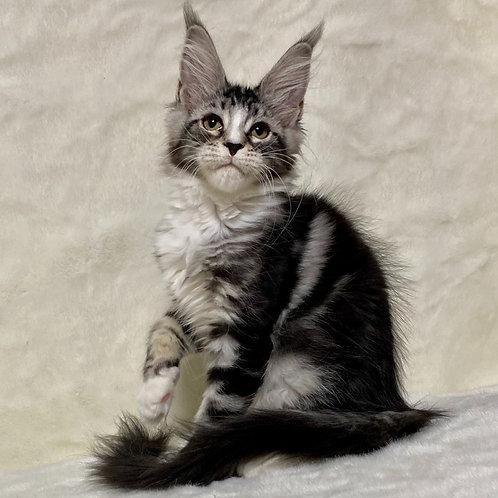 779 Sofia   Maine Coon female kitten