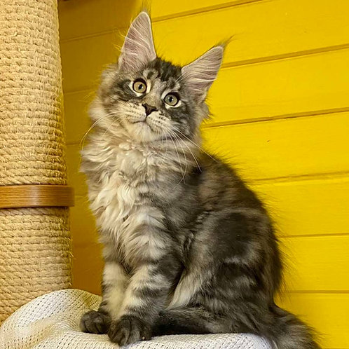 691 Harley Maine Coon male kitten
