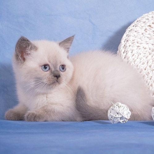 596 Wilma Scottish straight shorthair female kitten