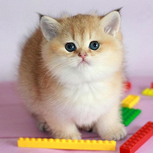 226 Teddy  British shorthair male kitten