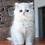 Thumbnail: 731 Camelia   Scottish straight longhair female kitten