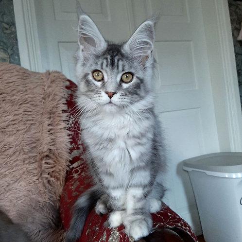 452 Xana  Maine Coon female kitten