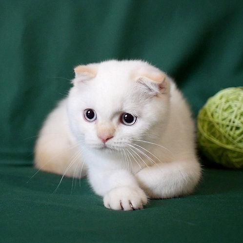 912 Gabriel  Scottish fold shorthair male kitten