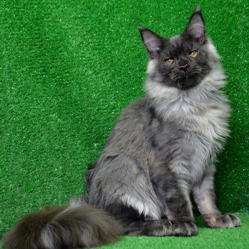 Gregor Maine Coon male kitten