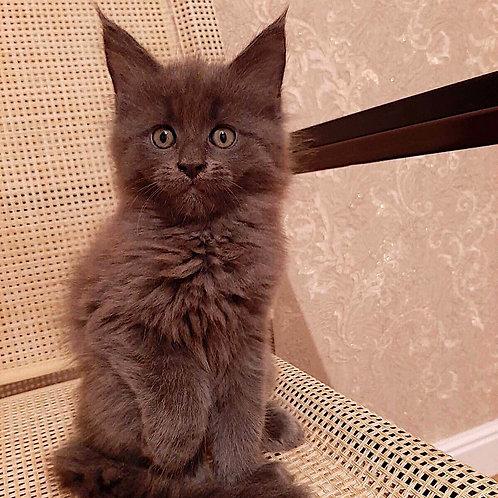 591 Aton Maine Coon male kitten
