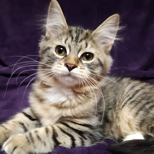 482 Astori Siberian female kitten