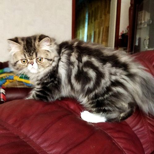 193 Quinto   Persian  male kitten