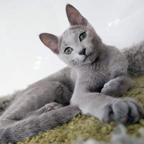 151 Evita  Russian blue female kitten