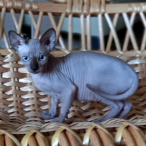 720 Ariel  female Sphynx   kitten