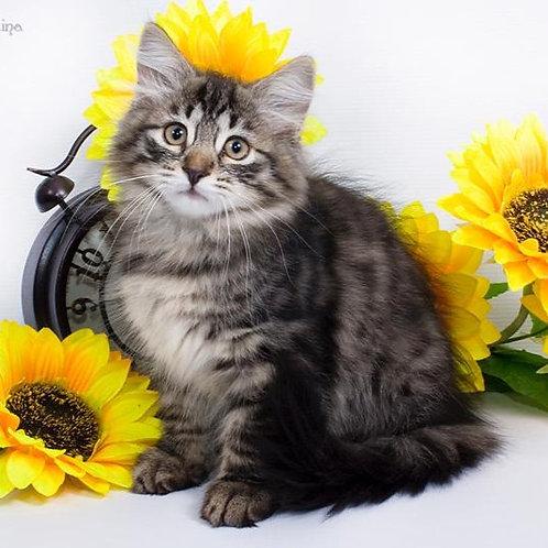 171 Nastena    Siberian female kitten