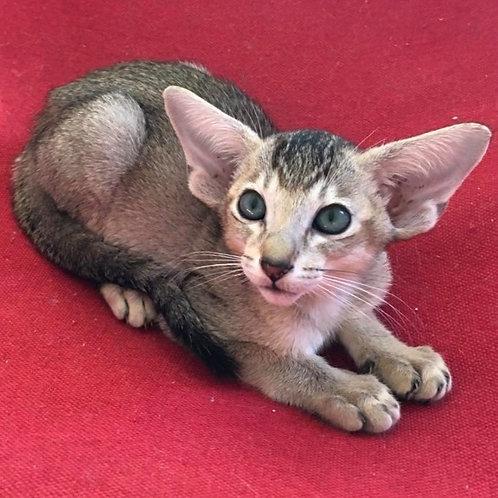 642 Fiona    Oriental female kitten