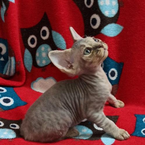 Lilu female kitten Devon Rex