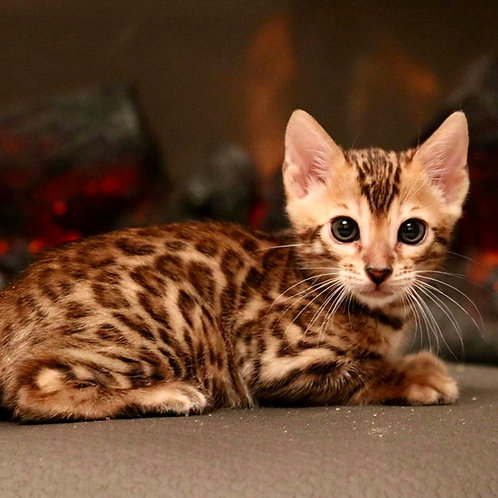 44 Archie   purebred Bengal male kitten