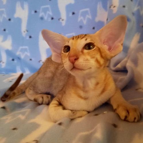8 Nathan Oriental male kitten
