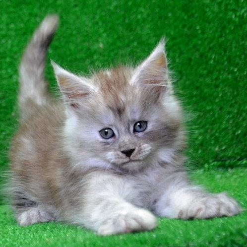 Helga Maine Coon female kitten