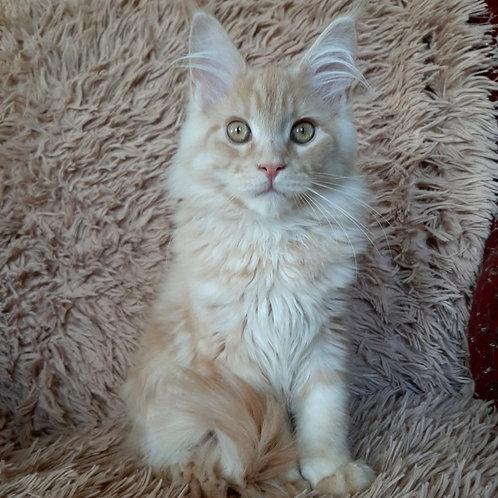 448 Xavier  Maine Coon male kitten