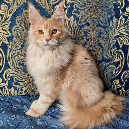 363 Fabian    Maine Coon male kitten