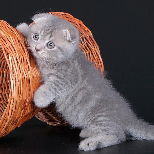 808 Royal      Munchkin shorthair male kitten