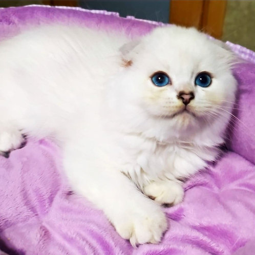 220 Wermut    Scottish fold longhair male kitten