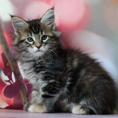657 Maggie Maine Coon female kitten