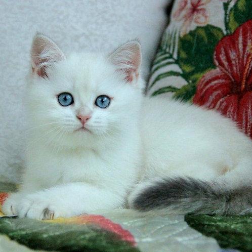 1117 Flora  British shorthair female kitten